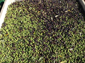 Freshly harvested olives